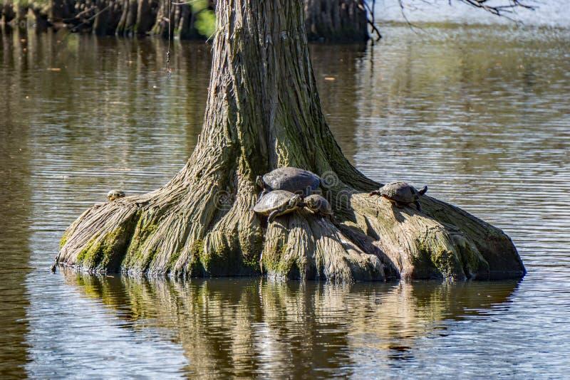 Reclinación de las tortugas imágenes de archivo libres de regalías