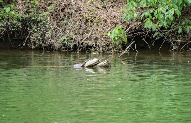 Reclinación de las tortugas foto de archivo libre de regalías