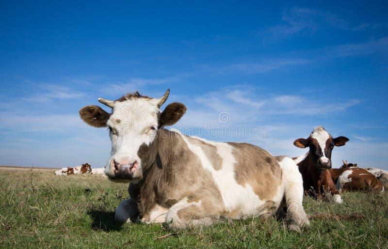 Reclinación de las vacas fotografía de archivo libre de regalías