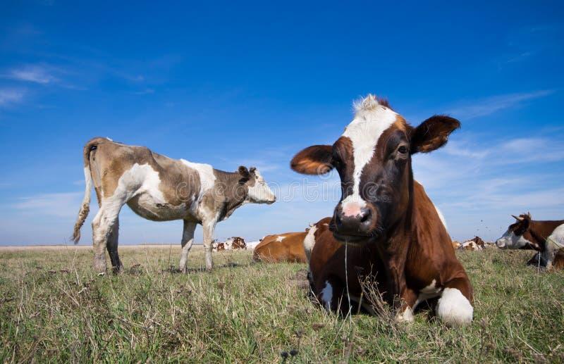 Reclinación de las vacas foto de archivo