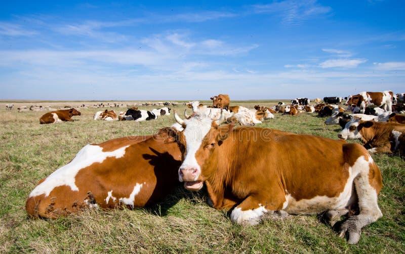 Reclinación de las vacas fotos de archivo
