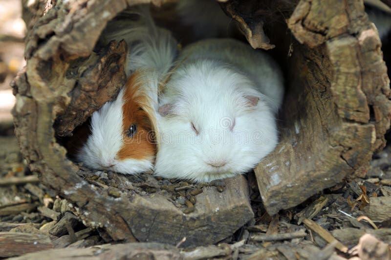 Reclinación de los conejillos de Indias imagenes de archivo