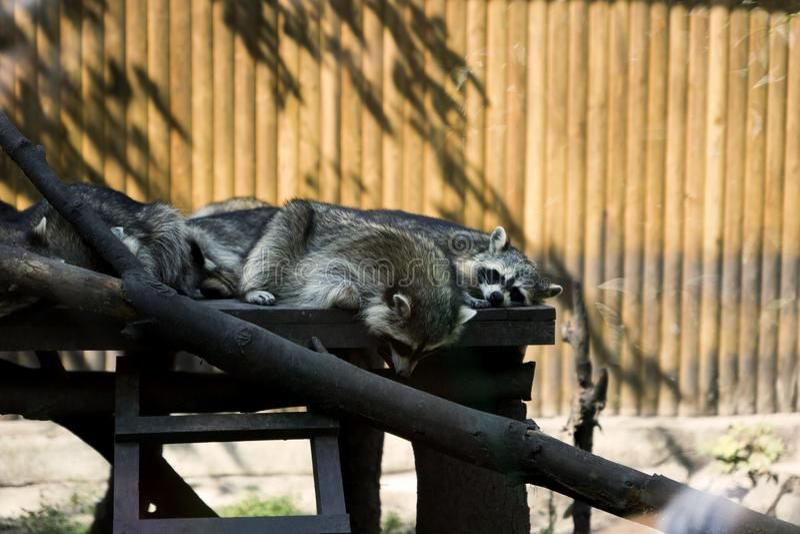 Reclinación de los mapaches imagenes de archivo