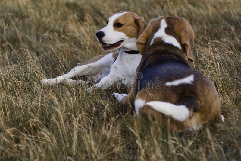 Reclinación de los perros del beagle. foto de archivo