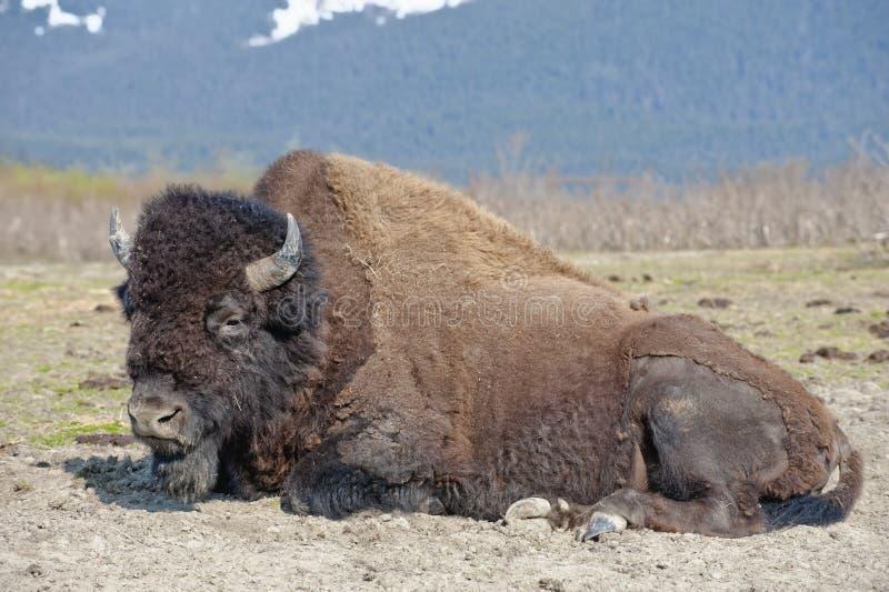 Reclinación de madera del bisonte fotos de archivo libres de regalías