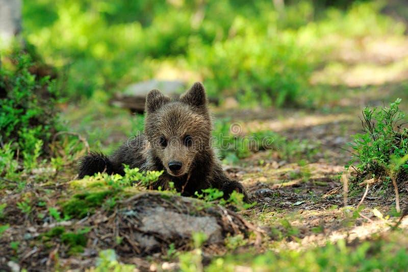 Reclinación del cachorro de oso de Brown fotos de archivo libres de regalías