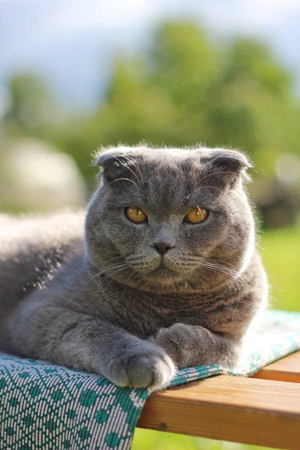 reclinación del gato del doblez del escocés imagen de archivo libre de regalías