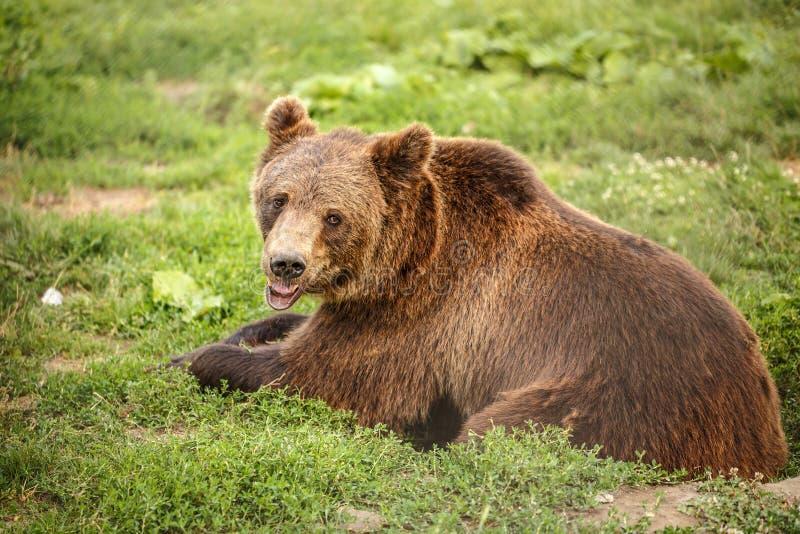 Reclinación del oso de Brown fotos de archivo libres de regalías