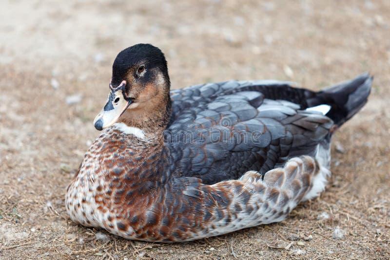 Reclinación del pato de Brown fotos de archivo