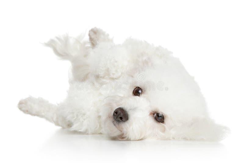 Reclinación del perro de Bichon Frise fotos de archivo