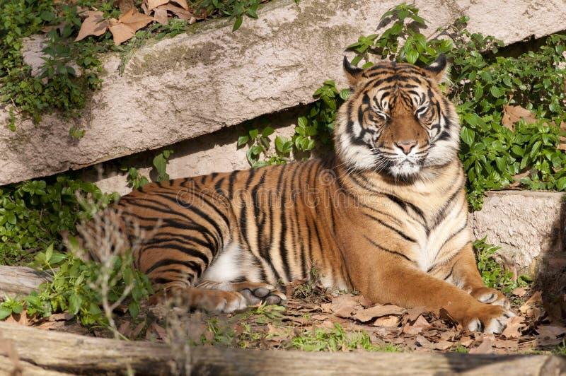 Reclinación Del Tigre Fotos de archivo libres de regalías