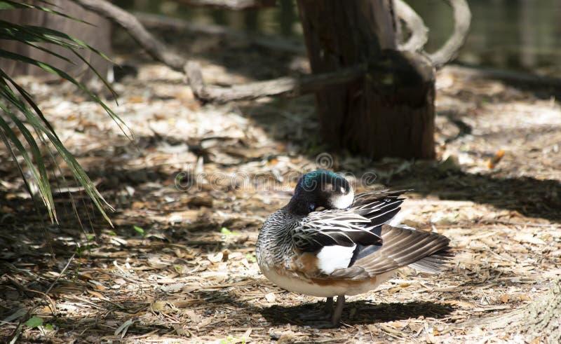 Reclinación del Wigeon de Chiloe imagen de archivo