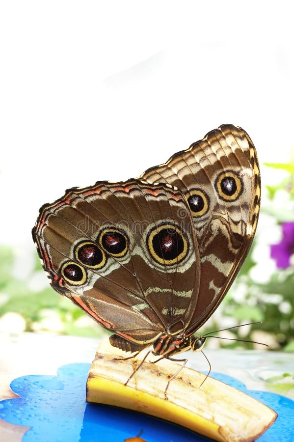 Reclinación tropical de la mariposa foto de archivo