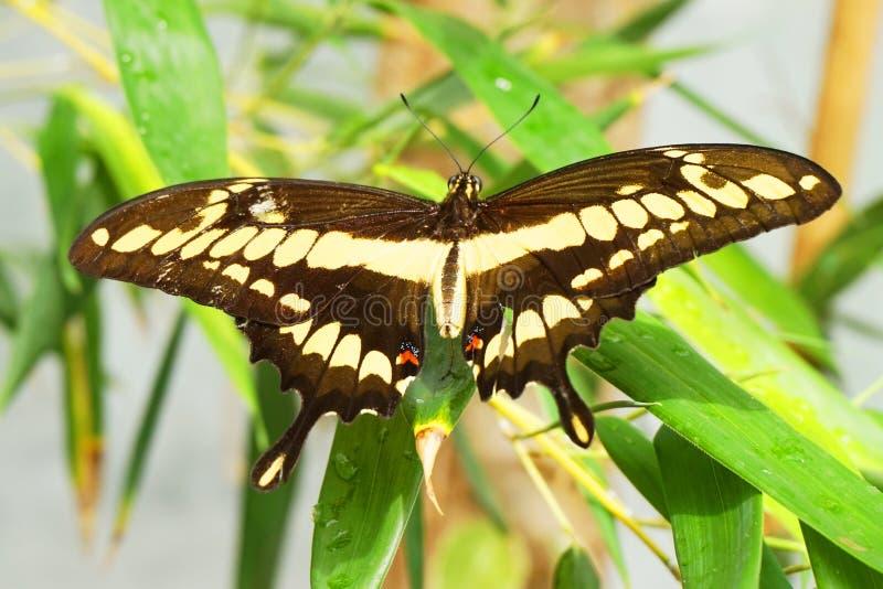 Reclinación tropical de la mariposa foto de archivo libre de regalías