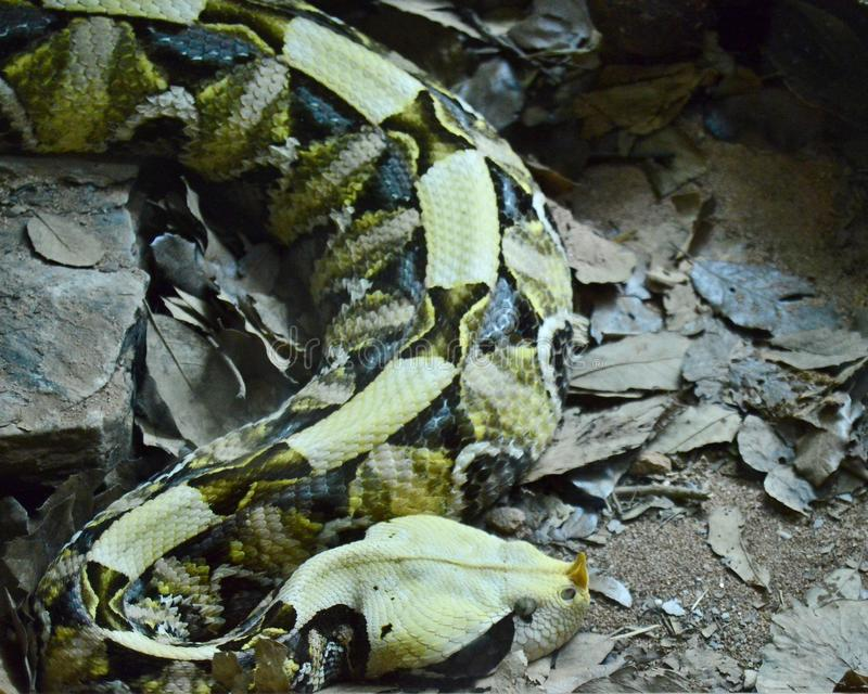 Reclinaci?n amarilla de la serpiente imagenes de archivo