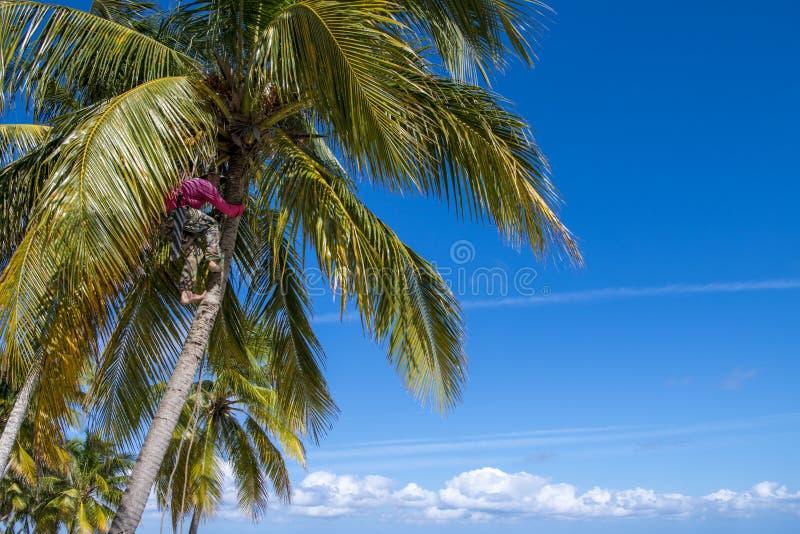 Recogedor del coco en palmera imagen de archivo
