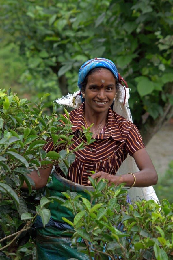 Recogedor del té del Tamil en Sri Lanka imagenes de archivo