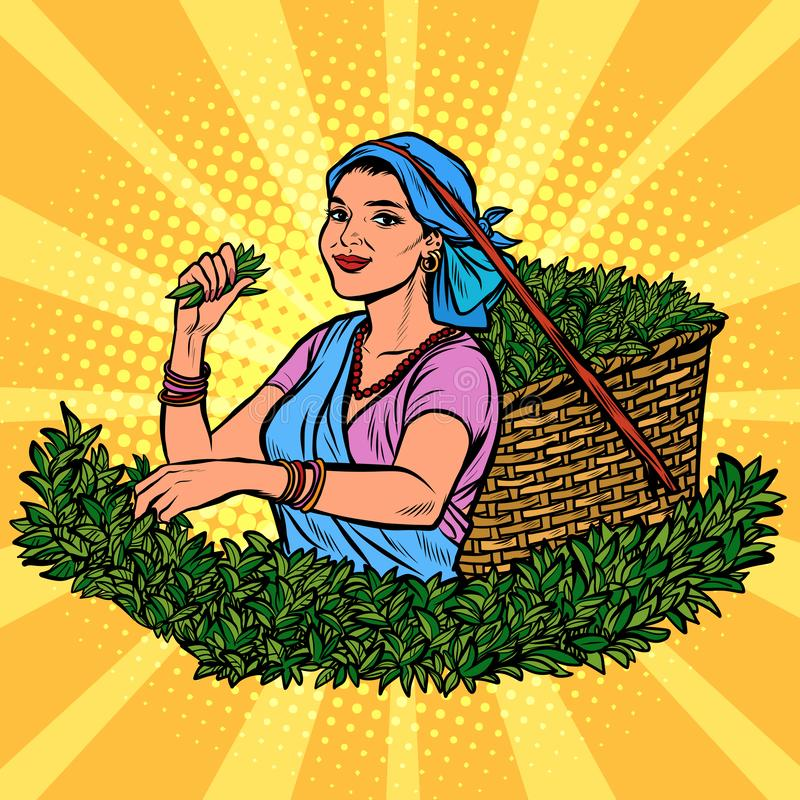 Recogedor del té del indio o de Sri Lanka Cosecha tradicional stock de ilustración