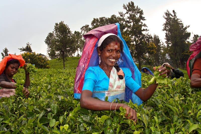 Recogedor femenino del té en las montañas fotografía de archivo