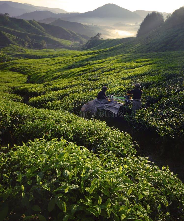 Recogedores Dawn Green Farm Harvesting Concept del té imagen de archivo libre de regalías