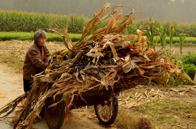 Recogida del maíz dulce en comuna del pueblo, China imágenes de archivo libres de regalías