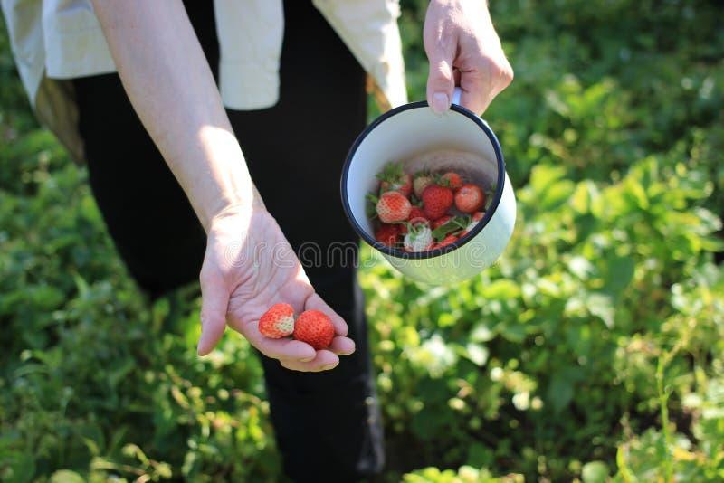 Recoja las bayas en una taza, fresas a disposición y en una taza, recogen bayas en una taza, trabajo en el jardín fotos de archivo libres de regalías