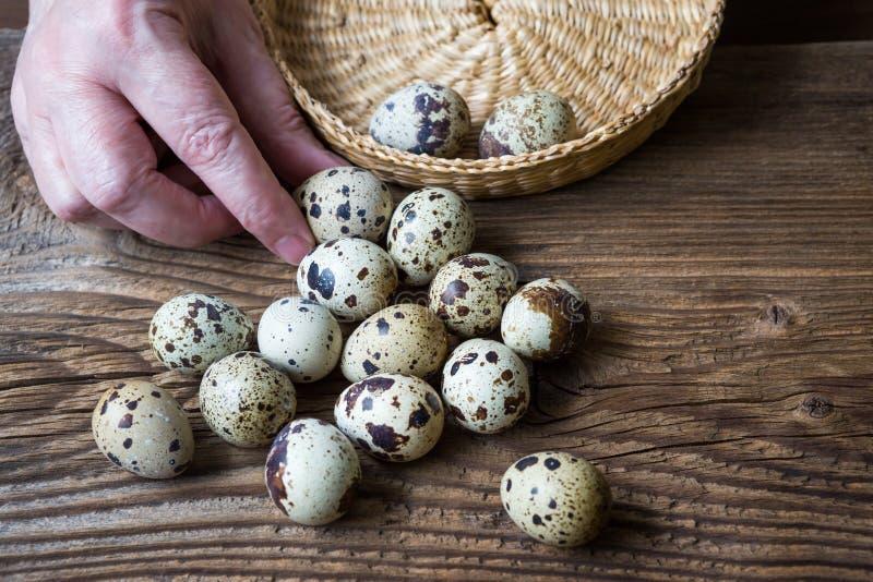 Recoja los huevos de codornices en la cesta fotos de archivo