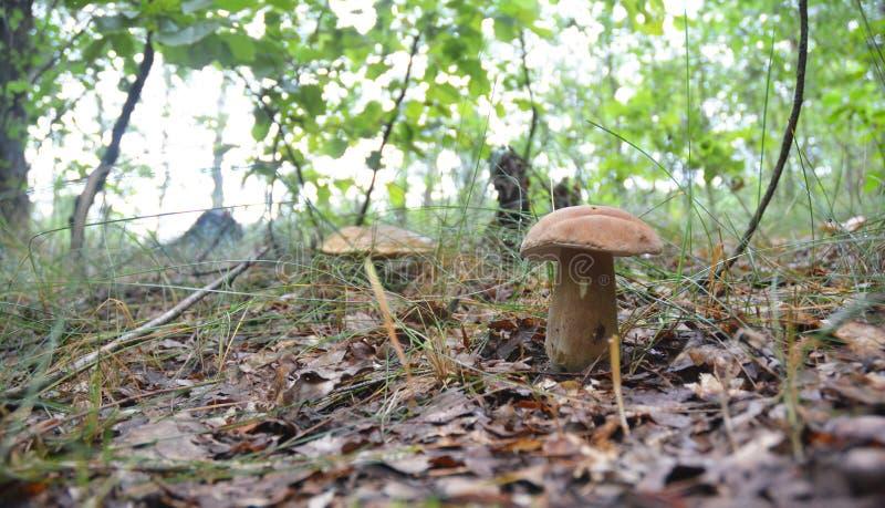 Recolhendo cogumelos Caça do cogumelo Recolhendo cogumelos selvagens Bolo do cepa-de-bordéus ou da moeda de um centavo, cepa-de-b imagens de stock royalty free