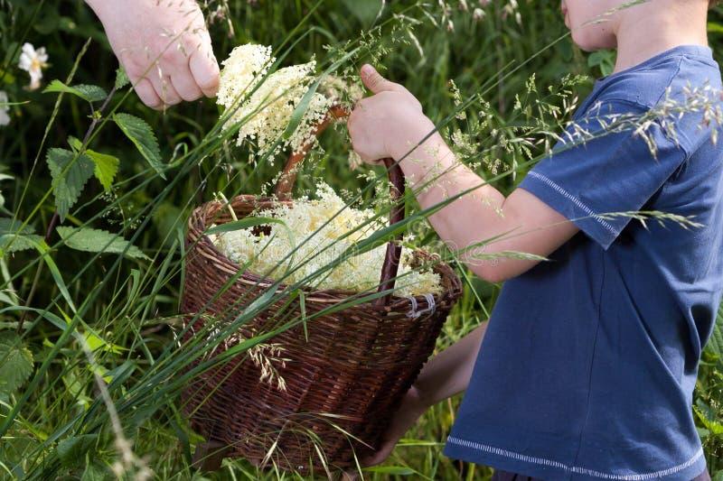Recolhendo a flor mais velha da flor foto de stock
