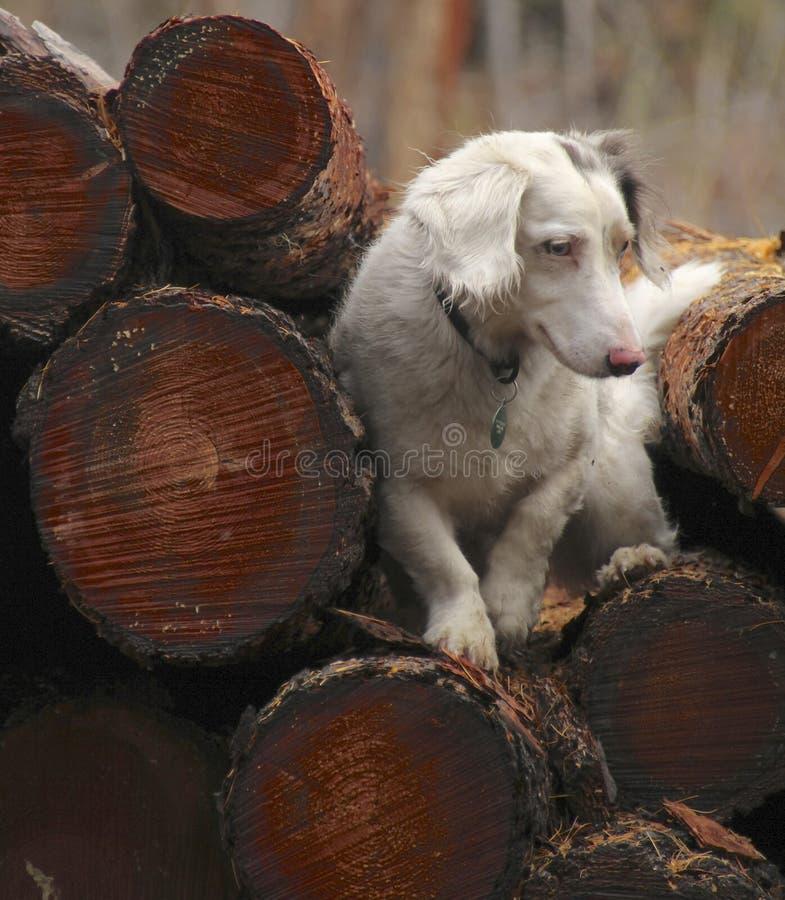 Recolhendo a madeira para o fogão fotos de stock royalty free