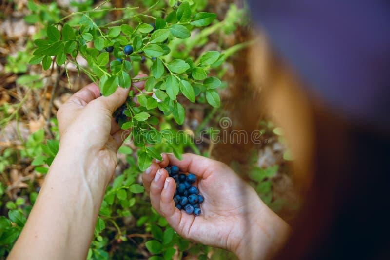 Recolhendo mirtilos na floresta fotos de stock royalty free