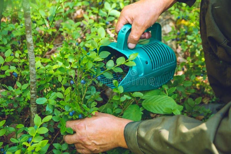 Recolhendo mirtilos na floresta imagens de stock royalty free