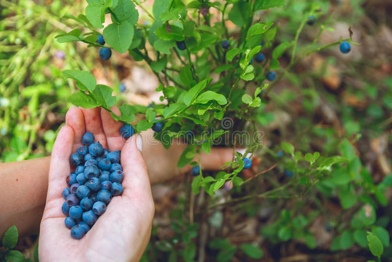 Recolhendo mirtilos na floresta foto de stock
