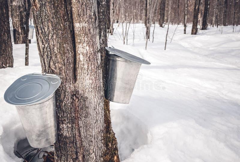 Recolhendo a seiva das árvores para produzir o xarope de bordo imagem de stock royalty free
