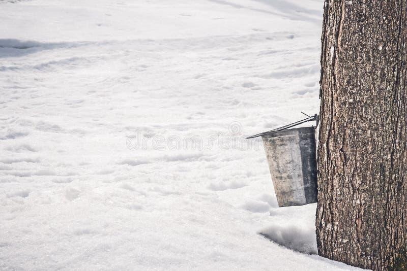 Recolhendo a seiva de uma árvore de bordo grande fotografia de stock royalty free