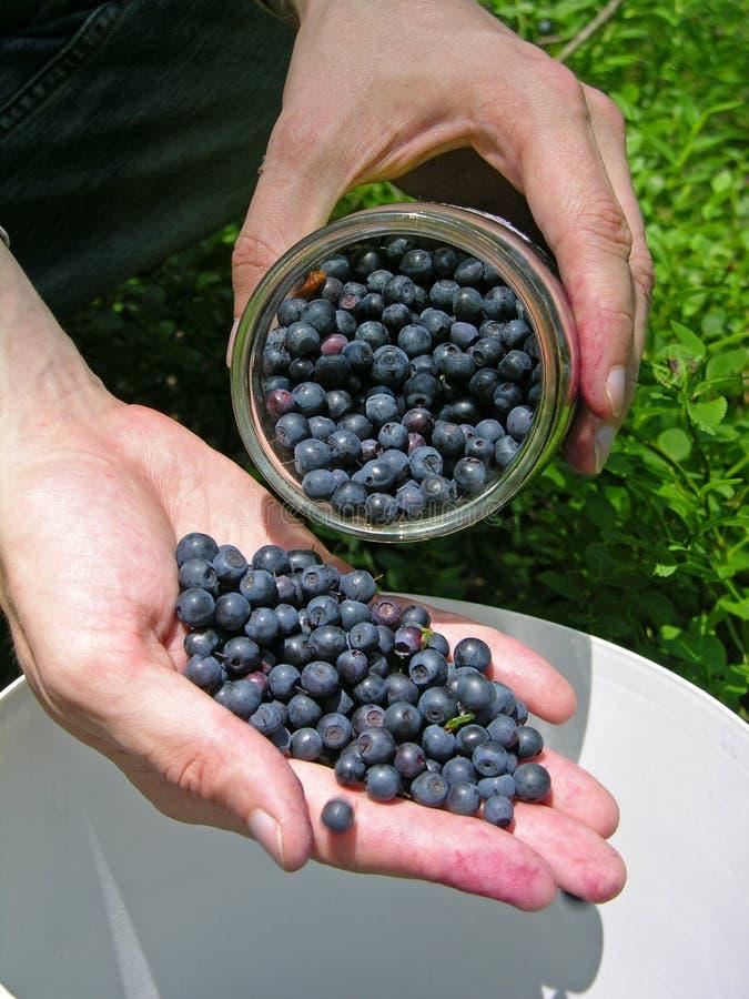 Recolhendo uvas-do-monte foto de stock royalty free