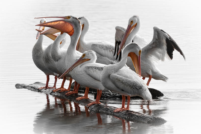 Recolhimento do pelicano branco fotografia de stock