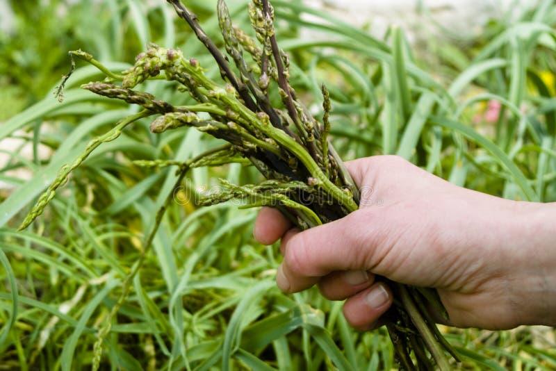 Recolhimento selvagem do aspargo (officinalis do aspargo) imagem de stock