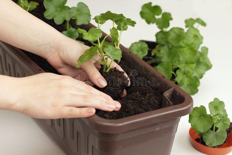 Reconversion des plantations des plantes de géranium photo libre de droits