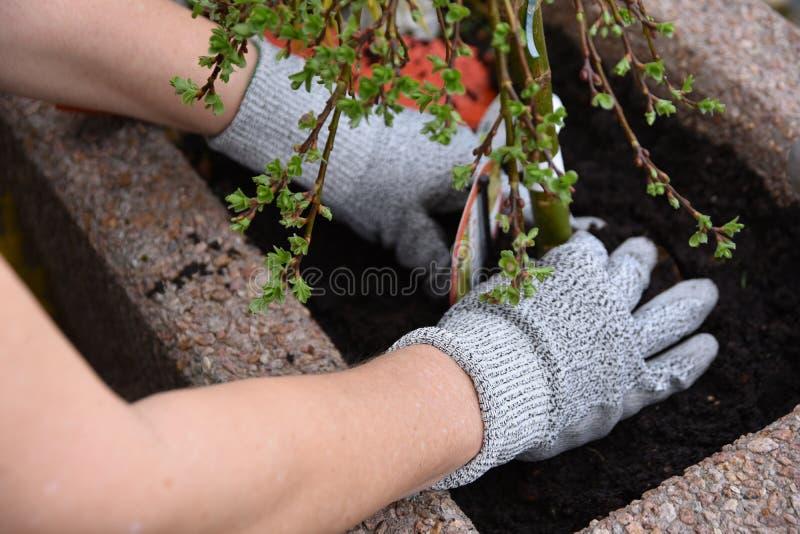 Reconversion des plantations/insertion de la fleur dans le sol de mise en pot photo stock