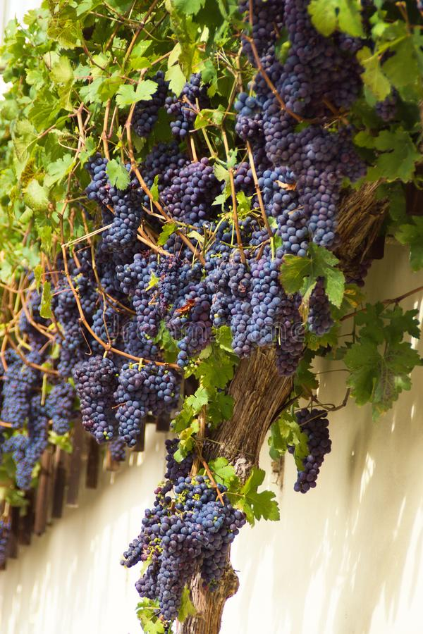 Old Vine`s Grape, Maribor, Slovenia. Record quantity of Old Vine`s descendant wine grape zametovka or modra kavcina sort in historic quarter of Lent in  Maribor royalty free stock photos