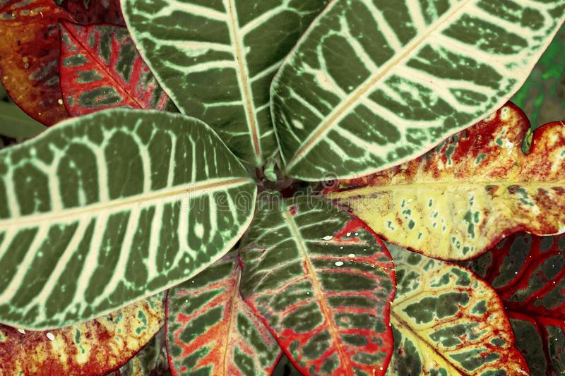 Recording the leaves of the garden. The most peculiar plant of the garden, with vivid colors and vivid leaves royalty free stock photos