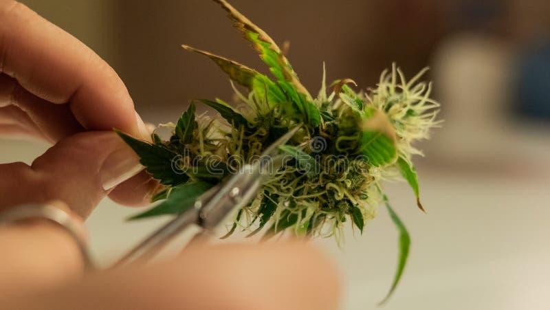 Recorte de los brotes de la marijuana en primer Tensiones del cáñamo en 2019 fotos de archivo