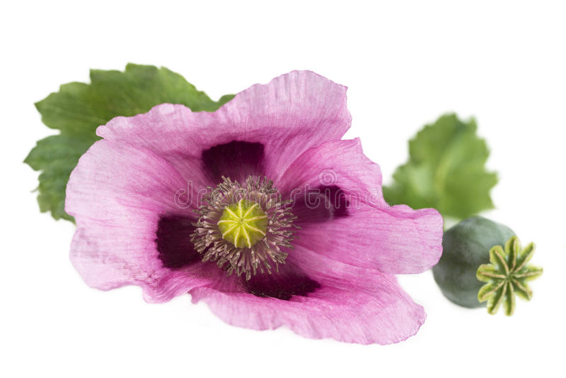 Recorte púrpura rosado del estudio de la amapola de opio en blanco imágenes de archivo libres de regalías