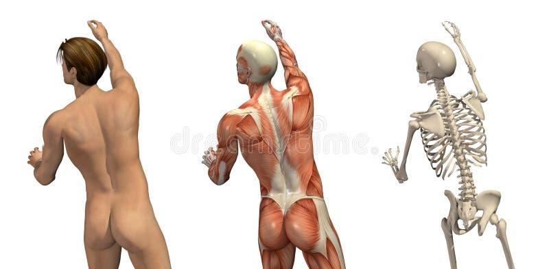 Recouvrements anatomiques - tournant et atteignant illustration libre de droits