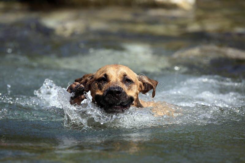 Recouvrements de natation de chien photos libres de droits