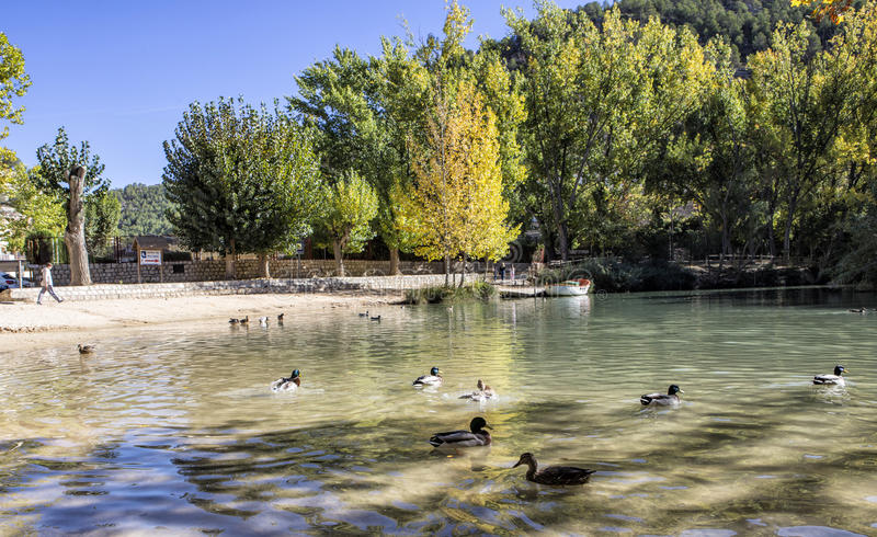 Recreation area on the River Jucar,Some ducks swim in the water, take in Alcala of the Jucar, Albacete province, Spain. Recreation area on the River Jucar,Some royalty free stock photo