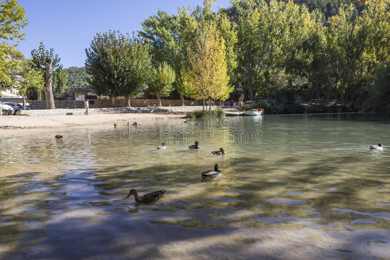 Recreation area on the River Jucar,Some ducks swim in the water, take in Alcala of the Jucar, Albacete province, Spain. Recreation area on the River Jucar,Some stock photos