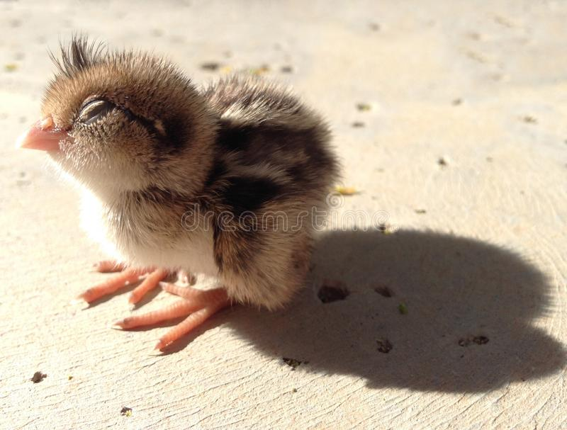Baby Quail With Eyes Closed, Napping royalty free stock photography