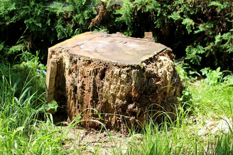 Rectangle looking tree stump left from tall old tree destroyed with termites left in local public park surrounded with uncut grass. And hedge royalty free stock photo